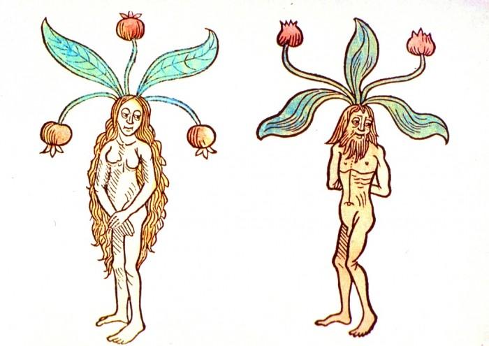 Мандрагора - материнский комплекс (3)