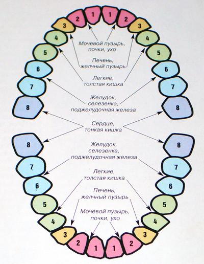 Проекция внутренних органов человека на зубы
