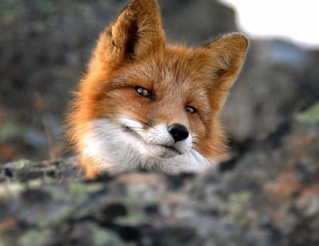 Картинки по запросу лисы