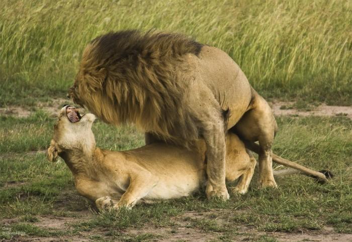 Секс мо львом