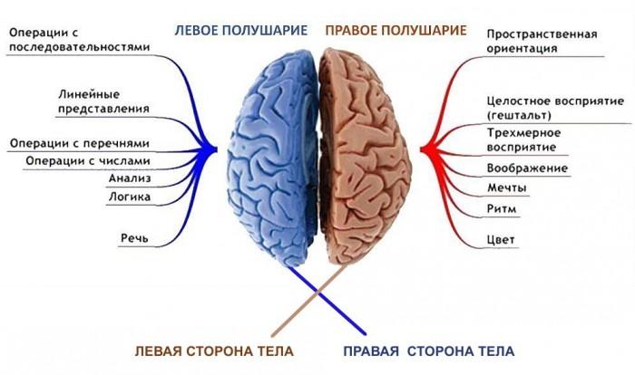 Асимметрия головного мозга человека психология