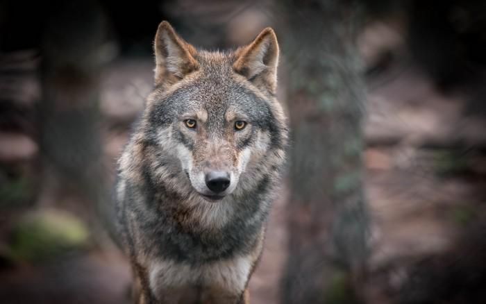 Волчица. Женское начало (4)