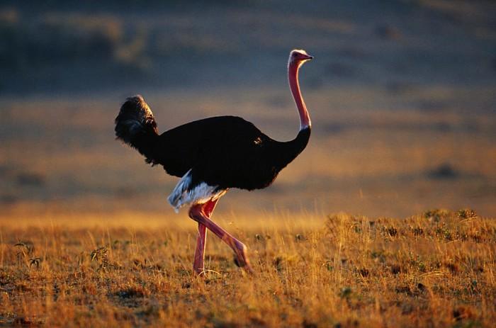 Почему страусы перестали летать