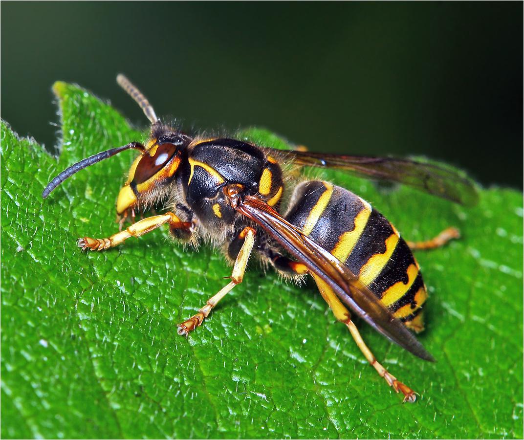 картинки осы и все о ней посещаю