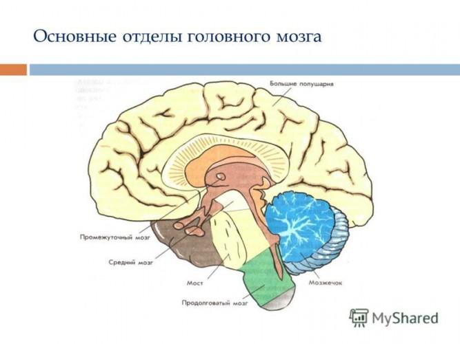 Какие мозги у человека